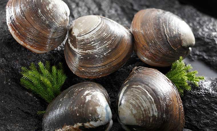 黒く光った北寄貝の貝殻