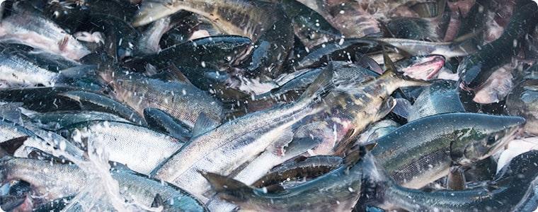北海道 秋鮭水揚げの様子