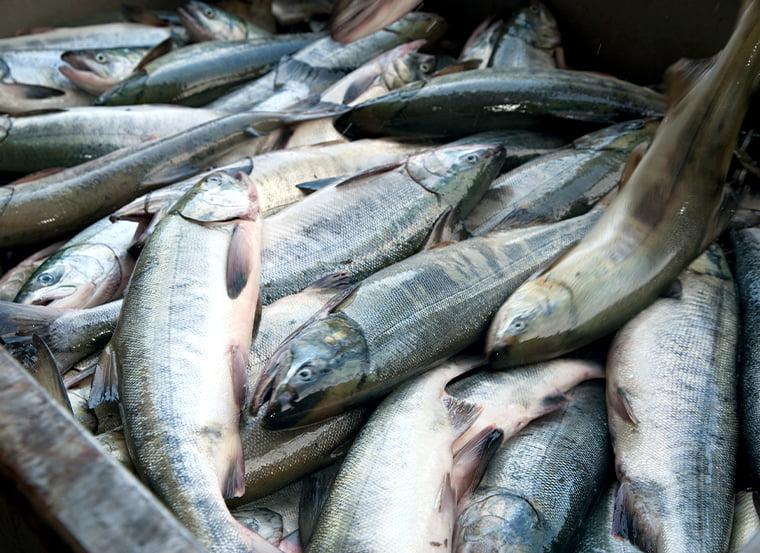 北海道 秋鮭漁の水揚げ風景
