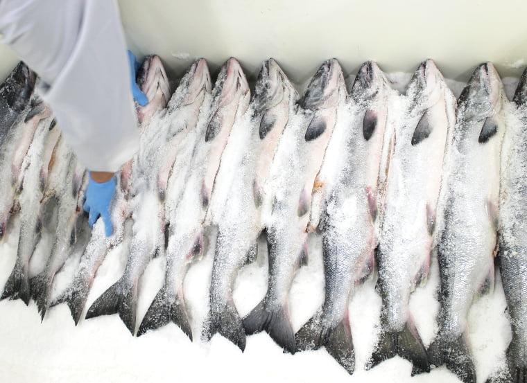ギッシリとならべた秋鮭に粗塩を大量に入れる