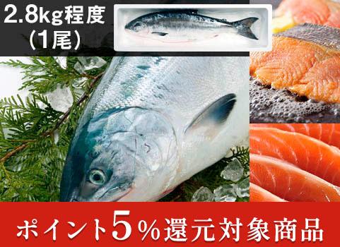 時鮭「船上活〆」1尾 2.8kg(北海道 日高産・生冷凍)【お中元ギフト】