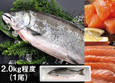 サクラマス「船上活〆」1尾 2.0kg(北海道 日高産・生冷凍)